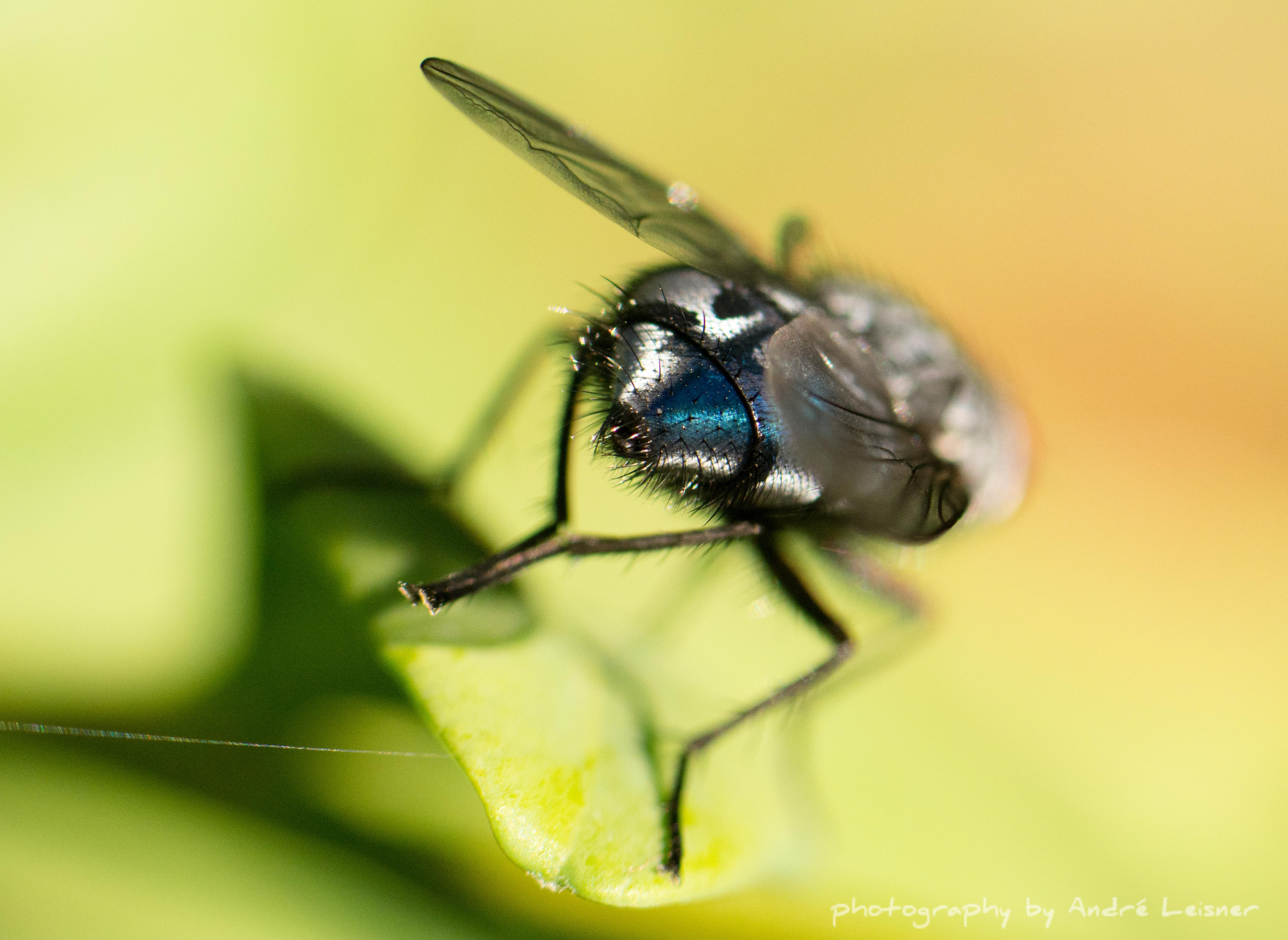 Makroaufnahme Fliege