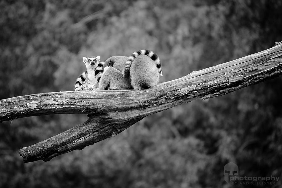 Lemuren auf einem Ast