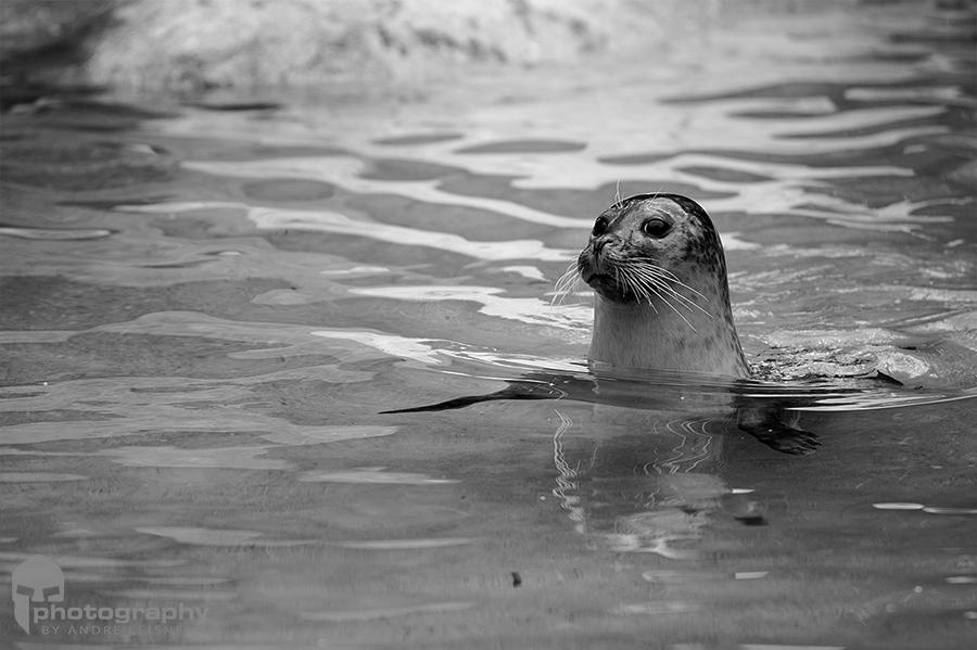 Seehund im Becken