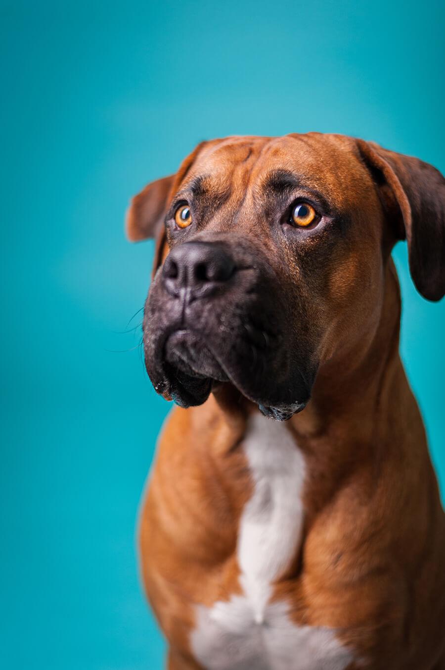 Hund Fokus Augen